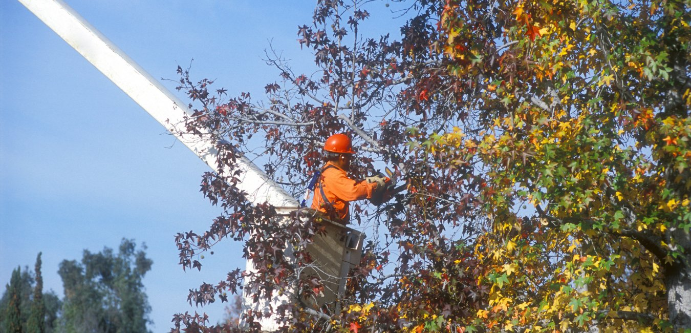 A photo of a tree service worker in a lift using cutters to trim dead tree branches